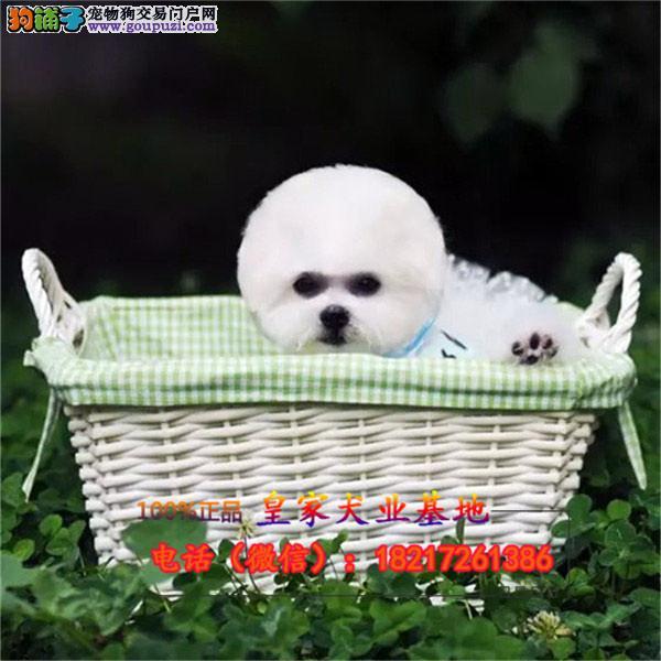 养殖场直销比熊 幼犬包养活签协议上门可选
