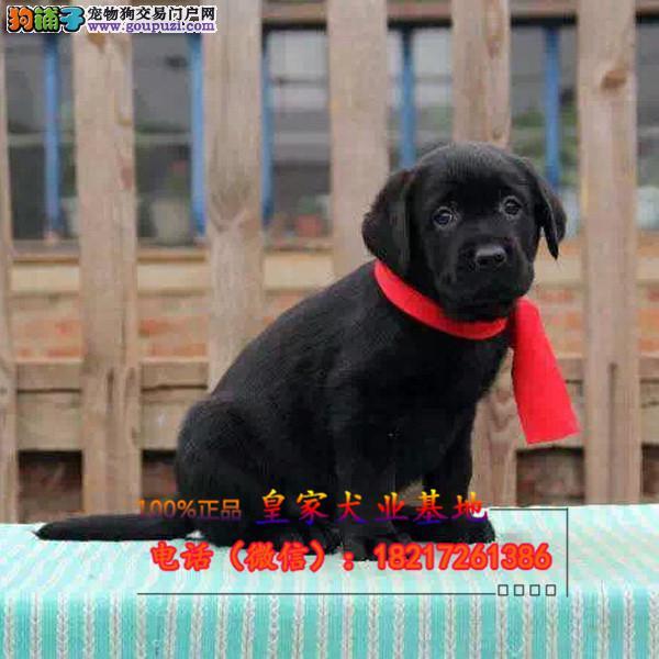 养殖场直销拉拉 幼犬包养活签协议上门可选