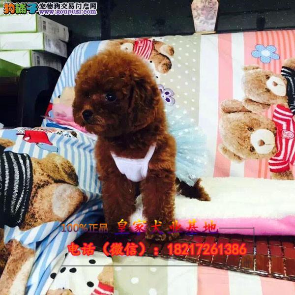 养殖场直销泰迪犬 幼犬包养活签协议上门可选