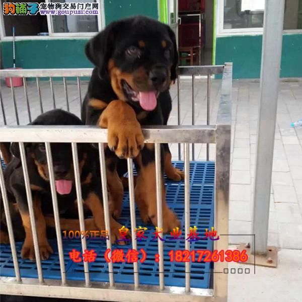 养殖场直销罗威纳 幼犬包养活签协议上门可选