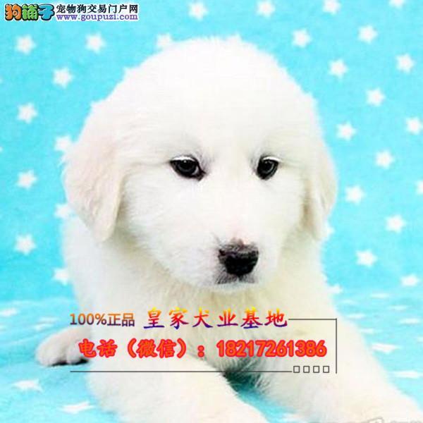养殖场直销 大白熊幼犬包养活签协议上门可选