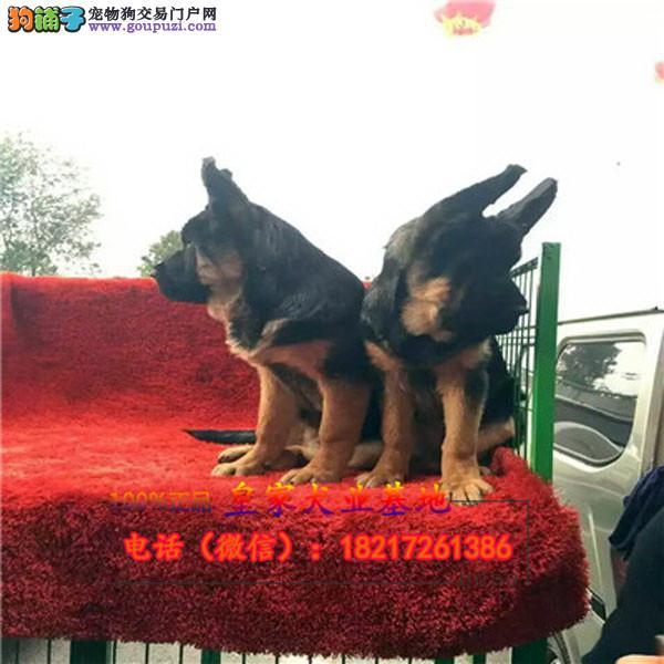 养殖场直销狼狗 幼犬包养活签协议上门可选