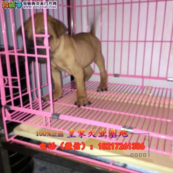 养殖场直销沙皮 幼犬包养活签协议上门可选
