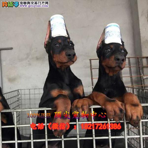 养殖场直销宠物狗狗 幼犬包养活签协议上门可选