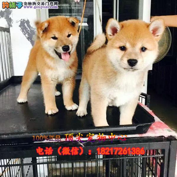 养殖场直销 柴犬幼犬包养活签协议上门可选