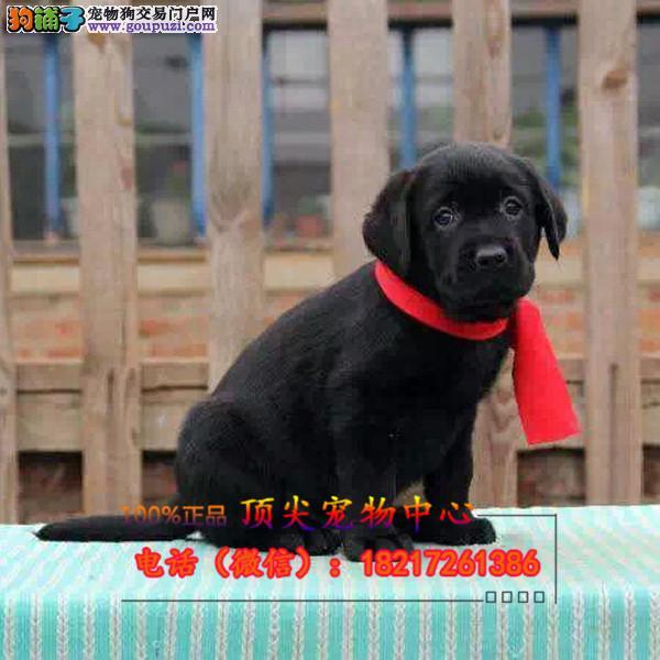 养殖场直销 拉拉幼犬包养活签协议上门可选