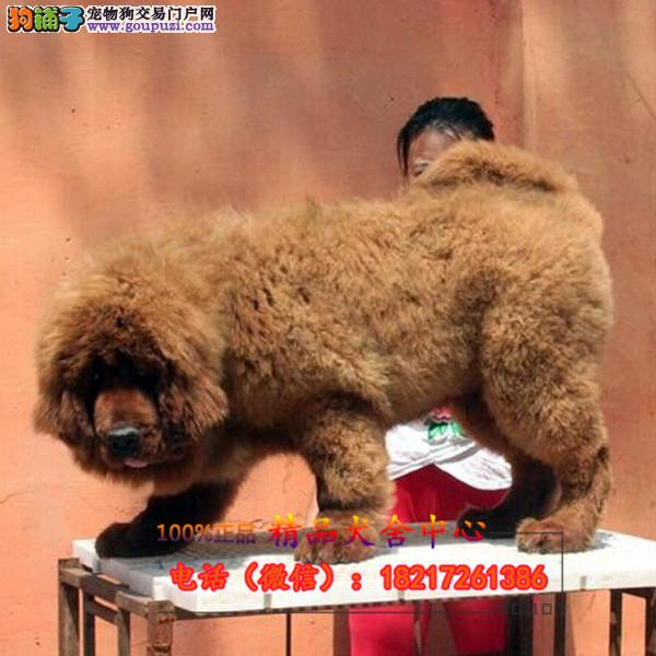 养殖场直销 藏獒幼犬包养活签协议上门可选