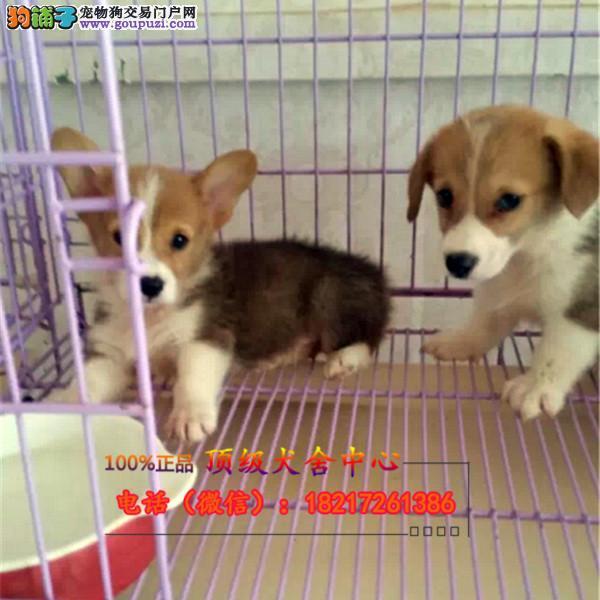 养殖场直销 柯基犬幼犬包养活签协议上门可选