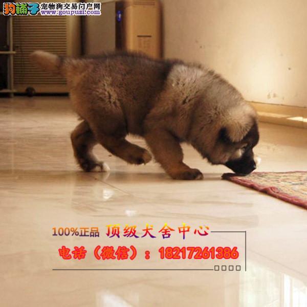 养殖场直销 高加索幼犬包养活签协议上门可选
