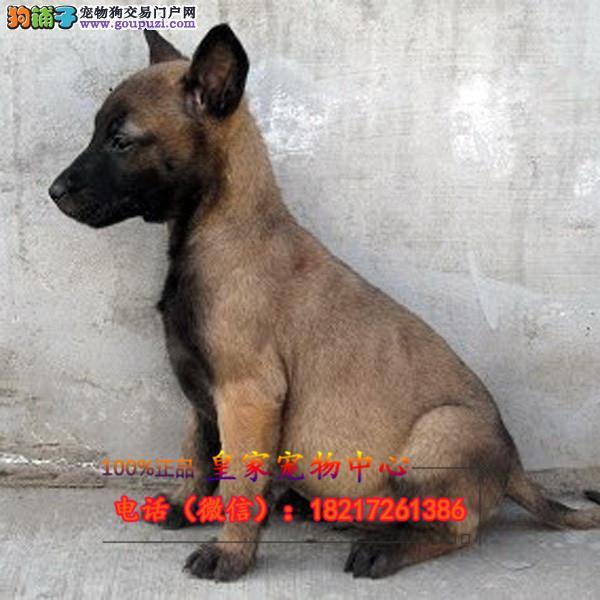 养殖场直销 马犬幼犬包养活签协议上门可选
