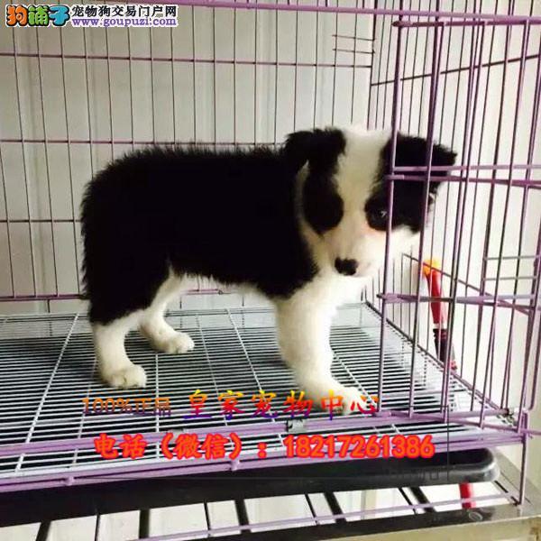 养殖场直销 边牧幼犬包养活签协议上门可选