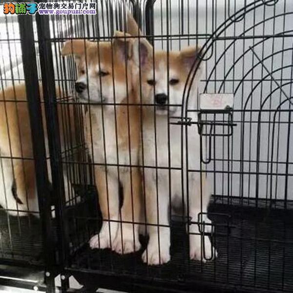 养殖场直销秋田 幼犬包养活签协议上门可选