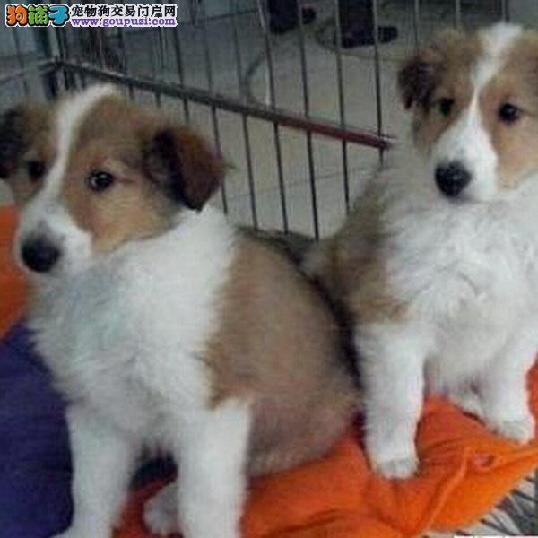养殖场直销苏牧 幼犬包养活签协议上门可选