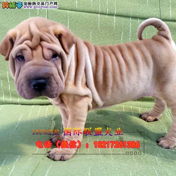 养殖场直销沙皮犬幼犬包养活签协议上门可选