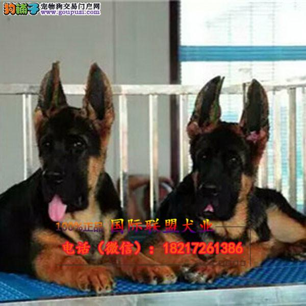 养殖场直销 狼狗 幼犬包养活签协议上门可选
