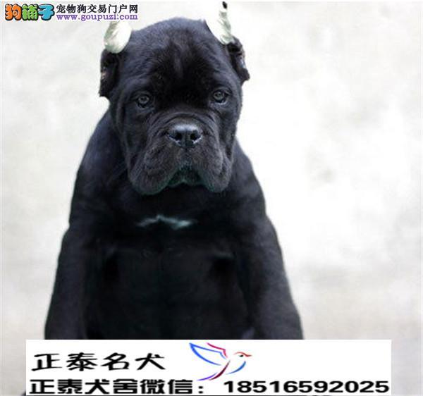 养殖场直销卡斯罗 幼犬包养活签协议上门可选
