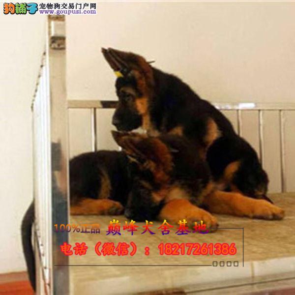 养殖场直销 格力幼犬包养活签协议上门可选