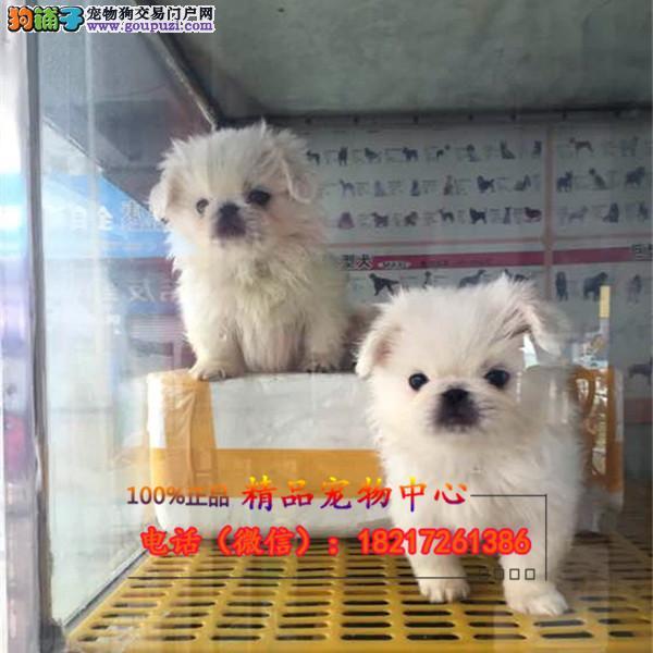 养殖场直销 京巴犬 幼犬包养活签协议上门可选