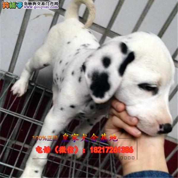 养殖场直销 斑点犬幼犬包养活签协议上门可选