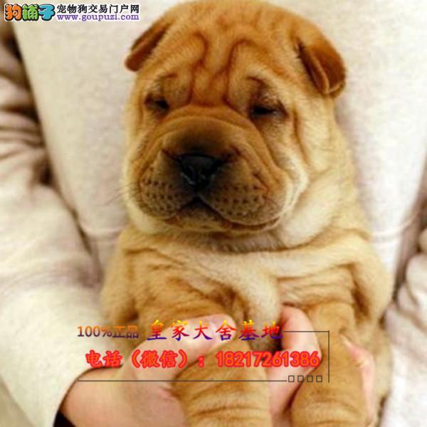 养殖场直销 沙皮犬幼犬包养活签协议上门可选