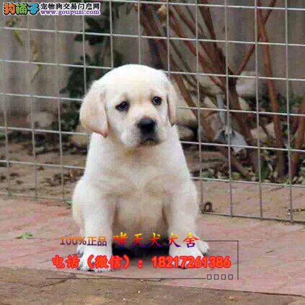 养殖场直销 拉布拉多幼犬包养活签协议上门可选