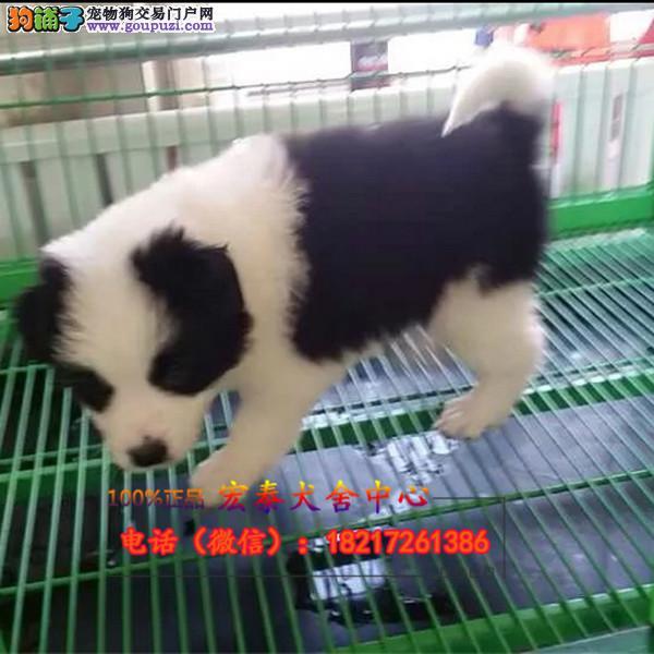 养殖场直销 边境牧羊犬幼犬包养活签协议上门可选