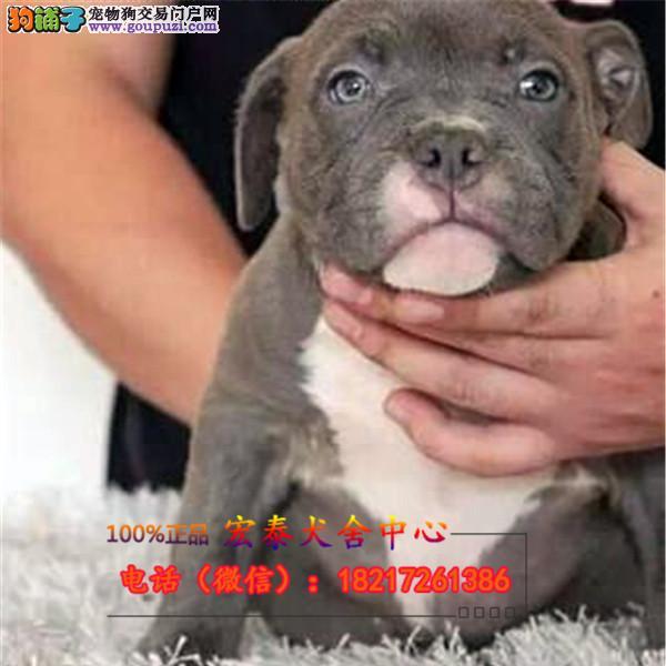 养殖场直销 比特幼犬包养活签协议上门可选