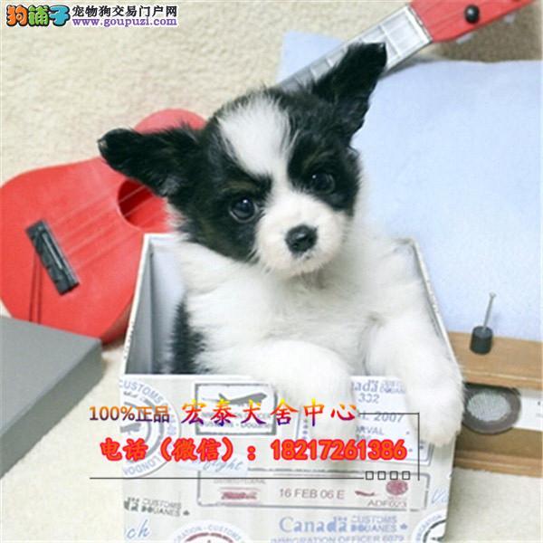 养殖场直销蝴蝶 幼犬包养活签协议上门可选
