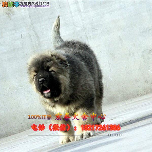 养殖场直销 大丹犬幼犬包养活签协议上门可选
