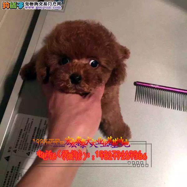 养殖场直销 泰迪犬幼犬包养活签协议上门可选