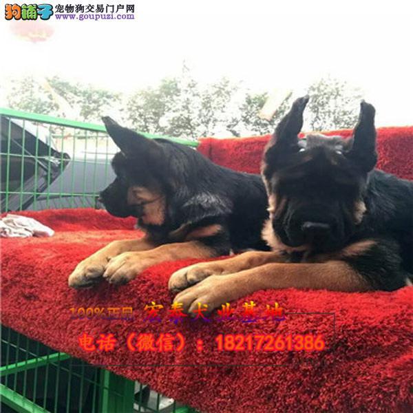 养殖场直销 德牧幼犬包养活签协议上门可选