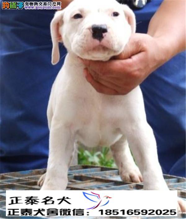 养殖场直销 杜高幼犬包养活签协议上门可选
