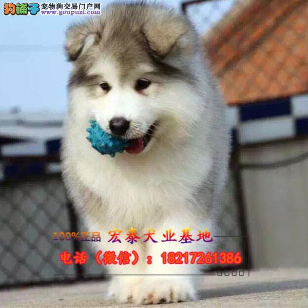 养殖场直销 中亚牧羊犬幼犬包养活签协议上门可选