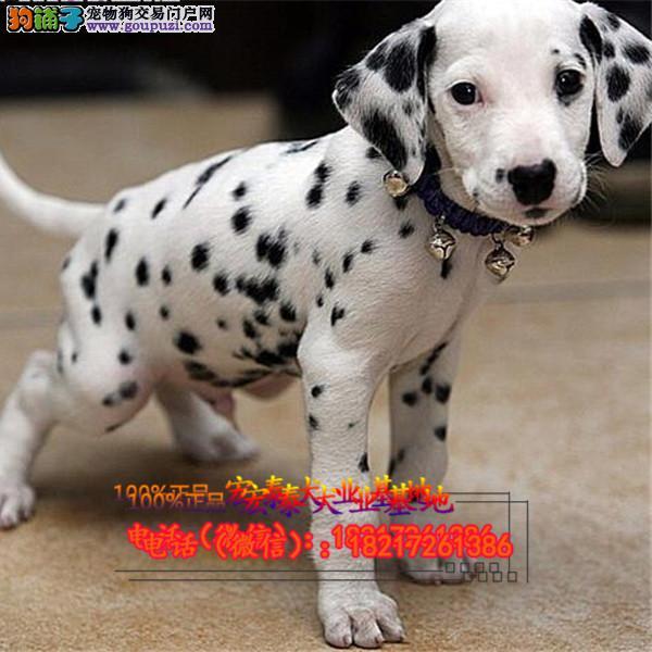 养殖场直销 斑点狗幼犬包养活签协议上门可选