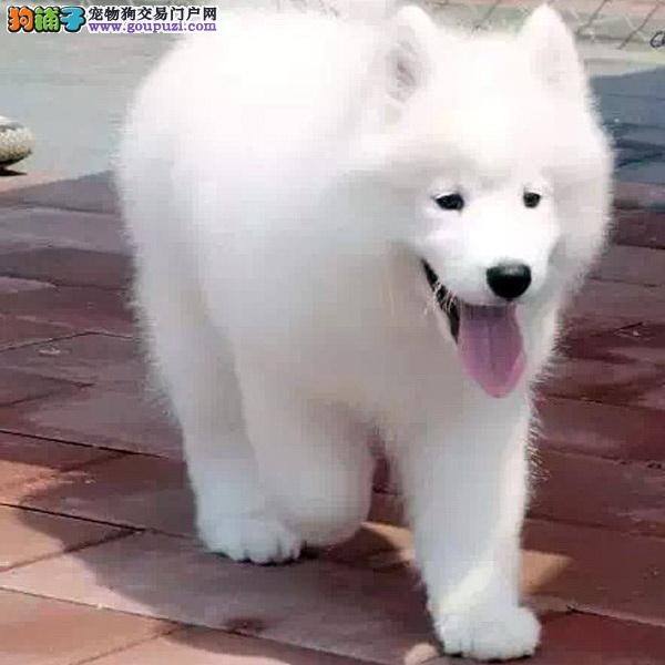养殖场直销 银狐犬幼犬包养活签协议上门可选