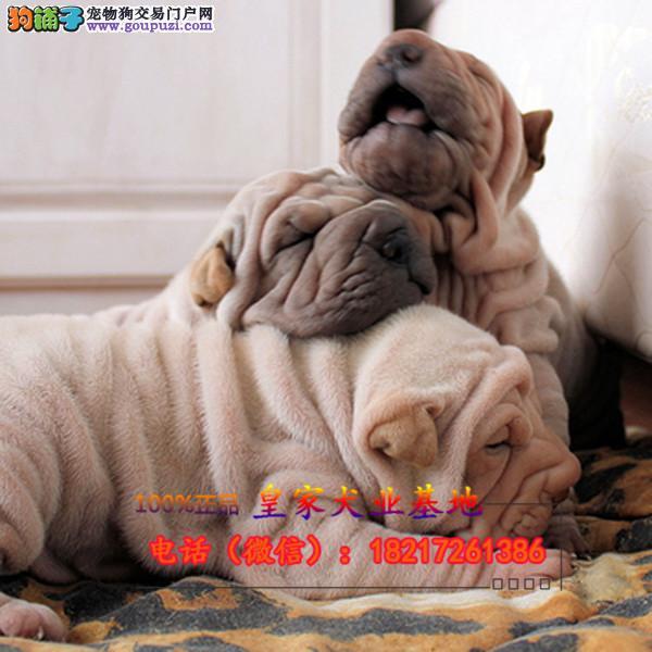 养殖场直销沙皮犬 幼犬包养活签协议上门可选