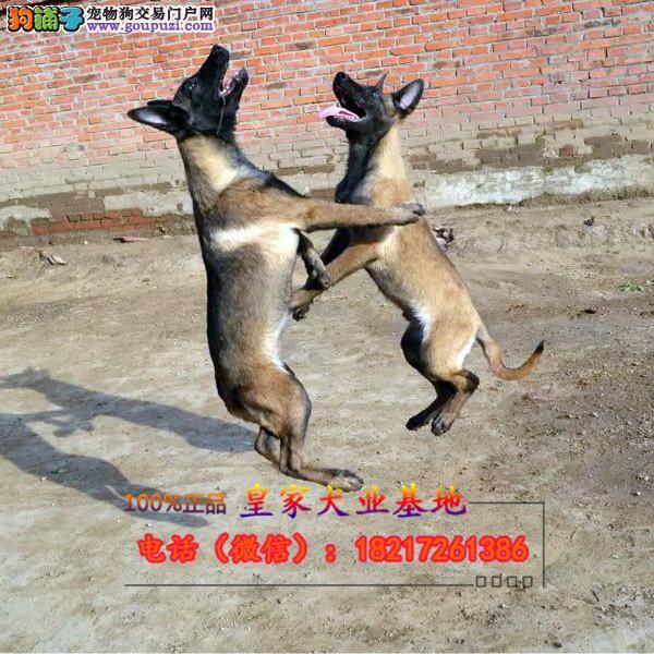 养殖场直销 比利时牧羊犬 幼犬包养活签协议上门可选