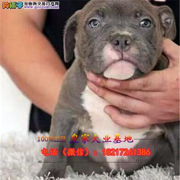养殖场直销 比特 幼犬包养活签协议上门可选
