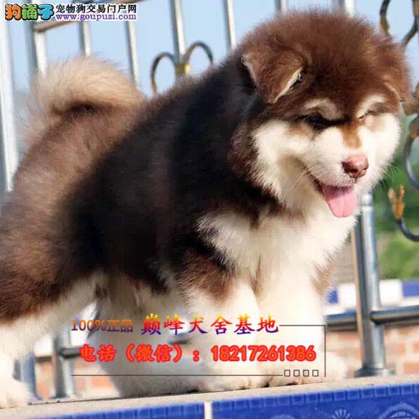 正规狗场 犬舍直销 纯种阿拉斯加真实照片包纯