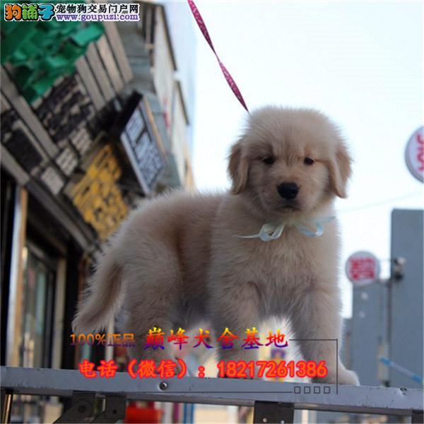 正规狗场 犬舍直销 纯种金毛犬 真实照片包纯