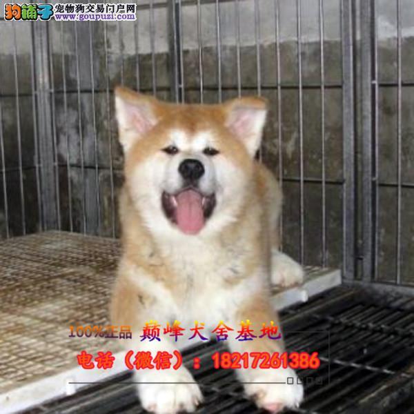 正规狗场 犬舍直销 纯种秋田犬 真实照片包纯