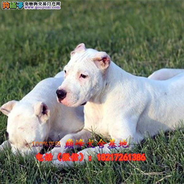 正规狗场 犬舍直销 纯种杜高犬 真实照片包纯