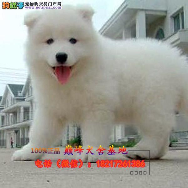 正规狗场 犬舍直销 纯种银狐犬 真实照片包纯