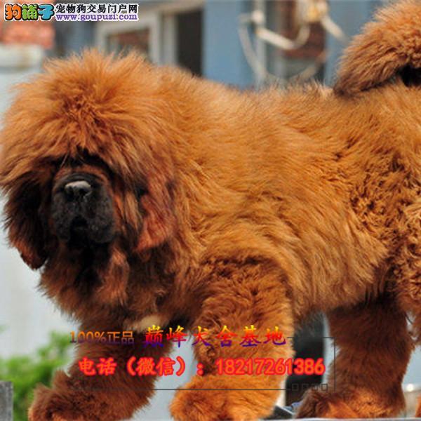 犬舍出售大狮头藏獒纯种幼犬 品相极好 铁包金
