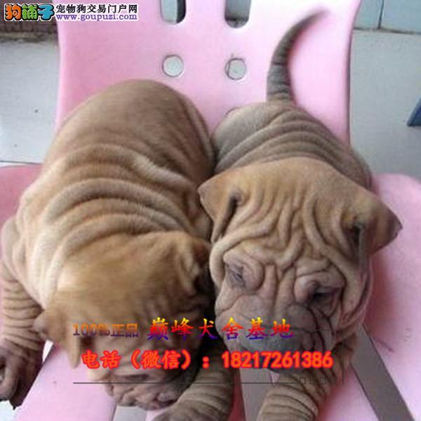 正规狗场 犬舍直销 纯种沙皮犬 真实照片包纯