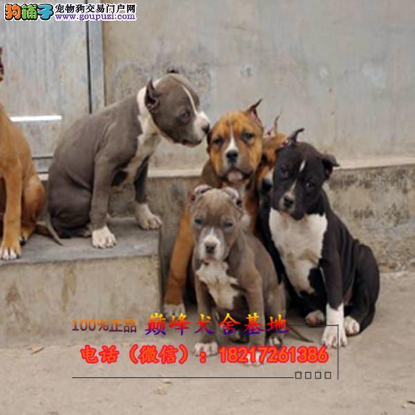 正规狗场 犬舍直销 纯种比特犬 真实照片包纯