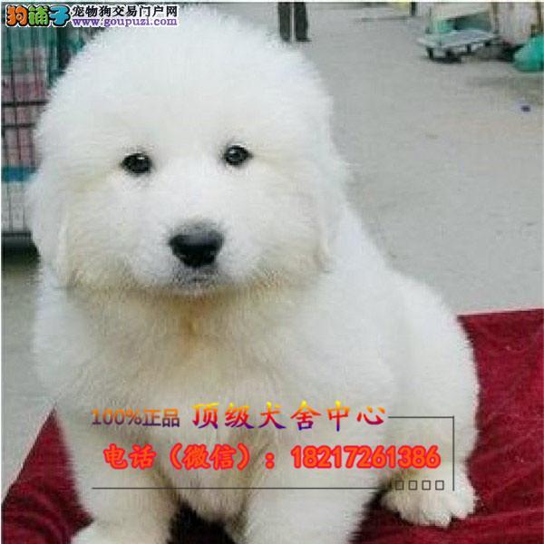 正规狗场 犬舍直销 纯种中亚牧羊犬犬 真实照片包纯