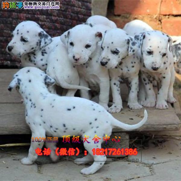 正规狗场 犬舍直销 纯种斑点犬 真实照片包纯