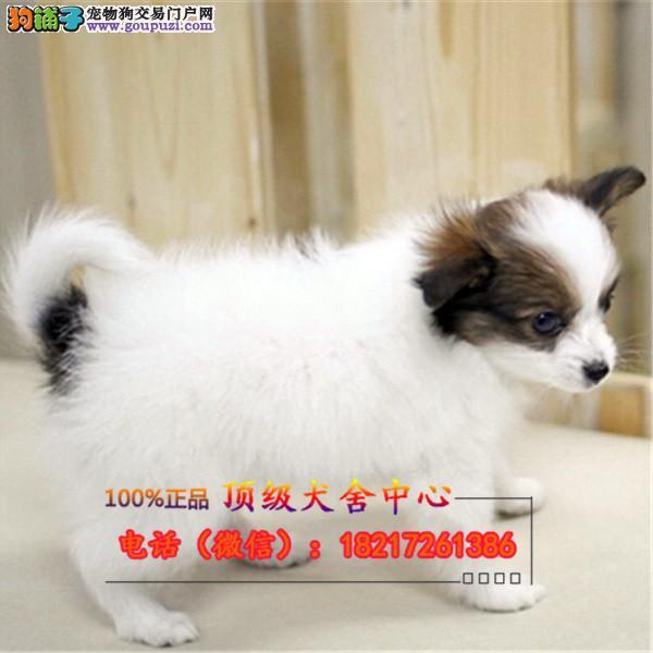 正规狗场 犬舍直销 纯种蝴蝶犬 真实照片包纯