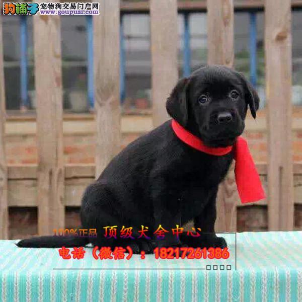 正规狗场 犬舍直销 纯种拉布拉多犬 真实照片包纯